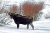 Moose cow (Alces alces shirasi) eats from willows in Red Rock Lakes National Wildlife Refuge in mid-February. Montana