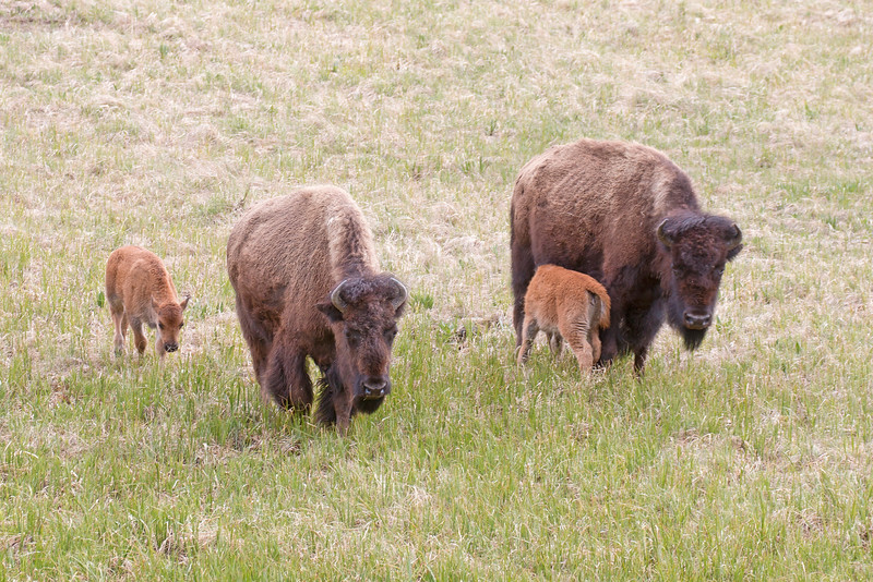 Yellowstone Bison and Calves May