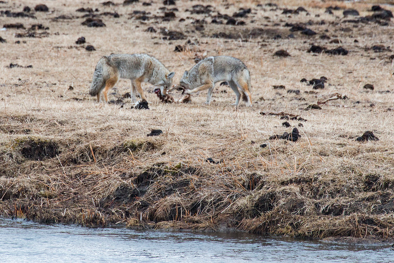 Coyotes at Bison Kill, Yellowstone