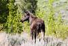 Moose_144021