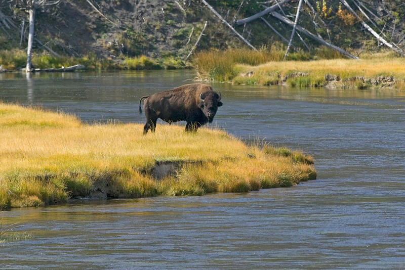 Bison glaring at me on the Madison River in Yellowstone National Park. Sep 26, 2007