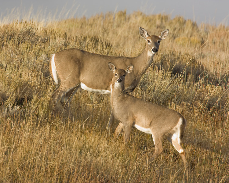 A couple white-tail Deer in Red Rock Lakes National Wildlife Refuge in Montana stare back at me. Sep 28, 2008