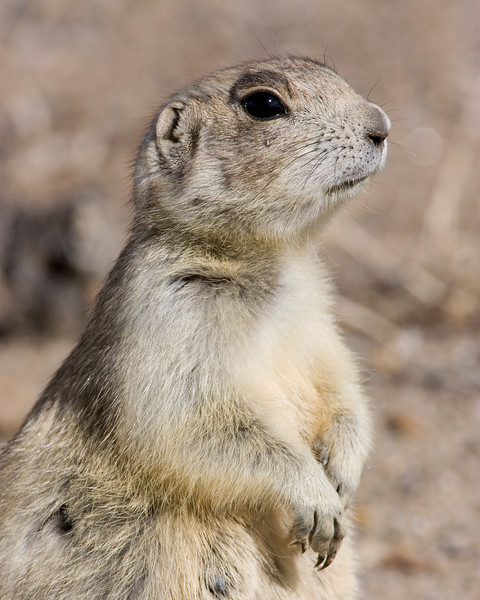 Prarie Dog in Wyoming. May 2009