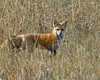 Fox in Island Park Idaho (along Red Rock Road). (Small digital image, not-printable as 8 x 10)