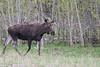 Moose along Red Rock Road, Targhee Forest