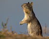 California Ground Squirrel at Sacramento National Wildlife Refuge. Jan 13, 2012.