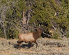 Big Male Elk in Yellowstone National Park near the Gardiner River, September 12, 2008.