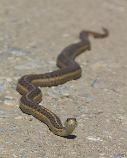 Garter snake along Culver road near Culver Pond in Red Rock Lakes National wildlife Refuge. June 5, 2011.