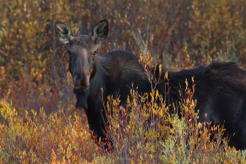 Moose in Willows
