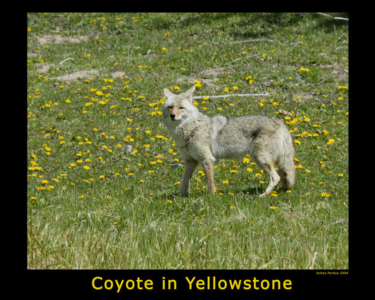 Coyote in Yellowstone Park