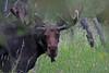 Moose_129693