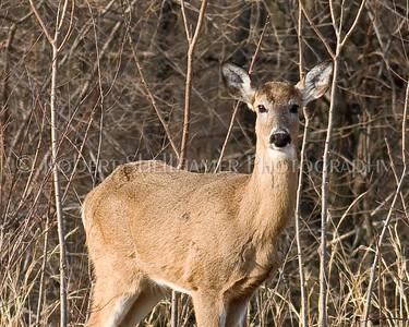 Deer-32