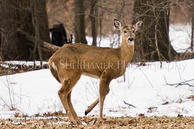Deer-7
