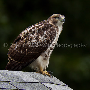 Local Hawk
