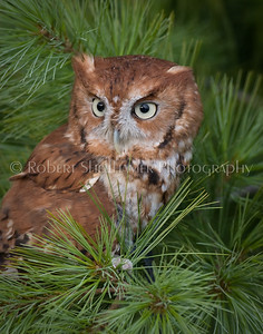 Screech Owl (Red Phase)