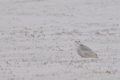 Snowy Owl on the ground