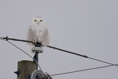 Snowy Owl perched on power pole