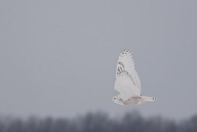 Snowy Owl cruising