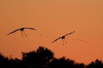 Cranes-243
