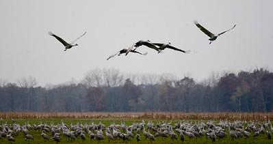 Cranes-36