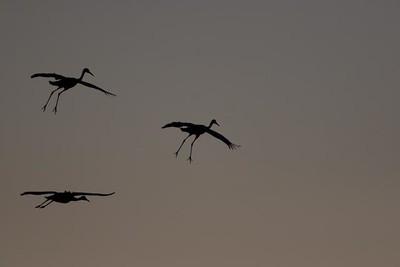 Cranes-232