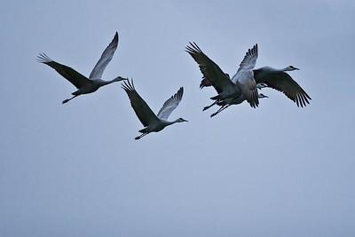 Cranes-47