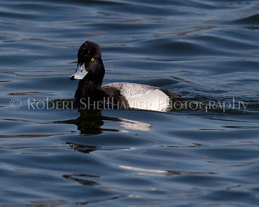 Greater Scaup - M