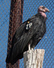 This California Condor is part of a breeding pair trying to re-establish the almost extinct species. This bird is caged at the World Center for Birds of Prey in Boise, Idaho. Oct 1, 2010.