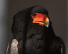This Bateleur Eagle (Terathopius Ecaudatus) is caged at the World Center for Birds of Prey in Boise, Idaho. It is a medium-sized Eagle from south of the Sahara in Africa.