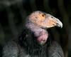Endangered Female Condor (25 years old). San Diego Wild Animal Park, Jan 2009