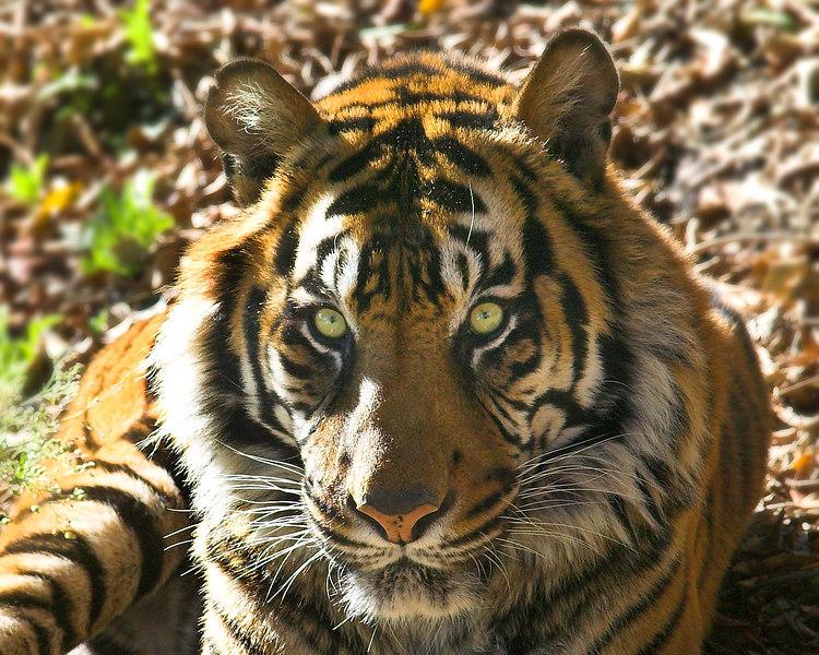 Sumerian Tiger