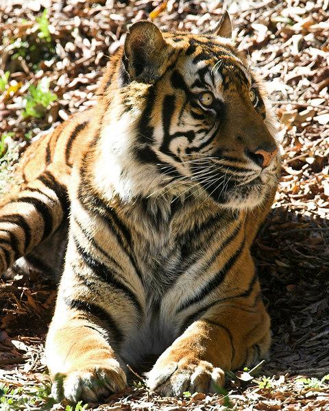 Wide Eyed Sumerian Tiger at San Diego Wild Animal Park.