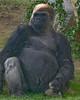 Silverback Gorilla, San Diego Wild Animal Park, Jan 2009