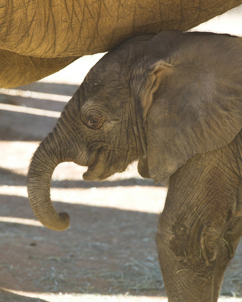 Baby Elephant, only 12 hours old, hides under Mom's belly. San Diego Wild Animal Park, March 12, 2007