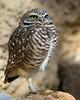 Burrowing Owl, San Diego Wild Animal Park, Jan 2009