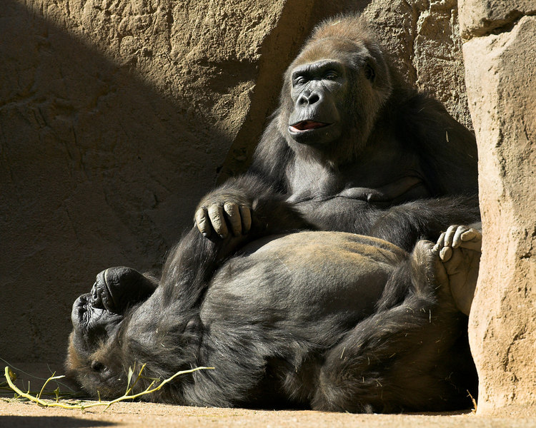 """Your going to get fat, laying around all day."" Gorillas at San Diego Wild Animal Park."