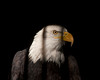 This Bald Eagle is caged at the World Center for Birds of Prey in Boise Idaho. Behind bars is not a great symbol for the freedom that it represents, but this individual was saved from a certain death when it was injured and couldn't fly any longer. Oct 1, 2010.
