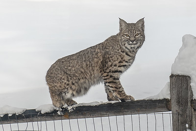 Bobcat, Felis rufus, in Sun Valley, Idaho