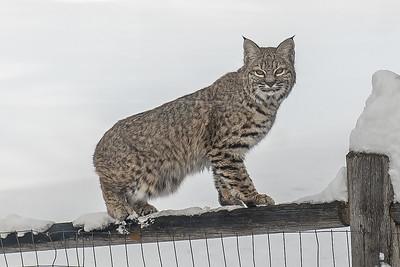 Bobcat, Felis rufus, in Sun Valley, Idaho