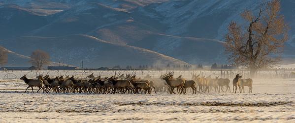 Elk Herd on the Move, Idaho