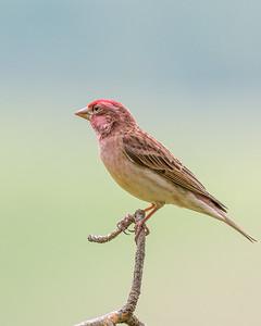 Cassin's Finch Male #1