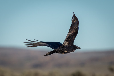 Raven Flies Over the Idaho Desert