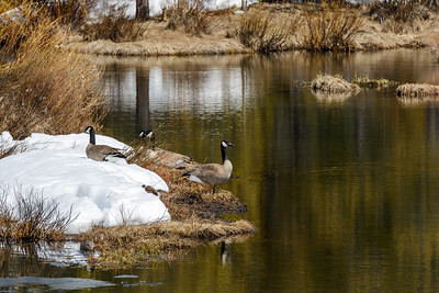 Migrating Canada Geese in Idaho