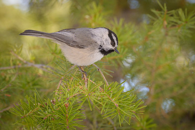 Mountain Chickadee #2