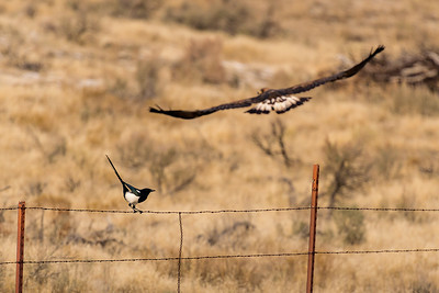 Golden Eagle and Magpie