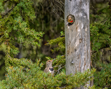 Red-Shafted Northern Flickers, Idaho