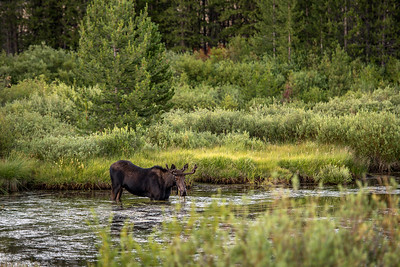 Moose on the Big Wood River of Idaho