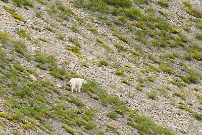 Mountain Goat, Chamberlain Basin