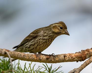 Cassin's Finch Female #3