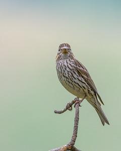 Cassin's Finch Female #1